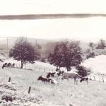 Außenbereich mit Kühen