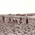 Kartoffellesen